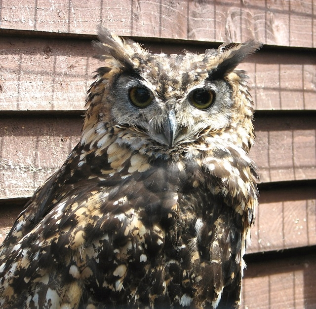 One of the owls at the Fritton Owl Sanctuary