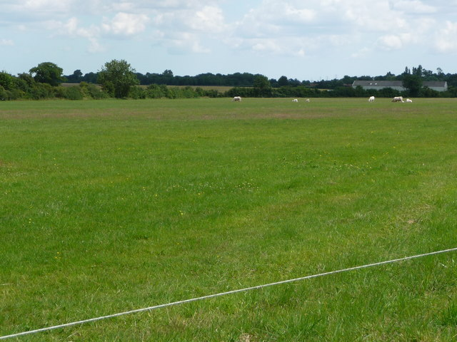 White cattle grazing Mellis Common