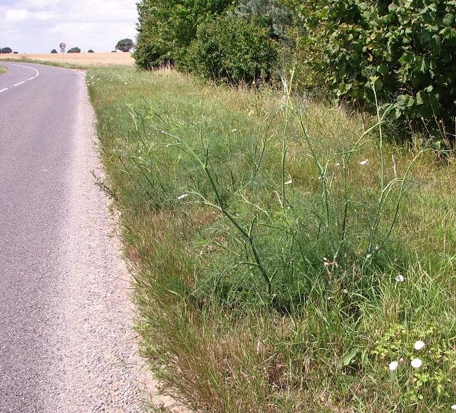Wild fennel beside Loddon Road (B1136)