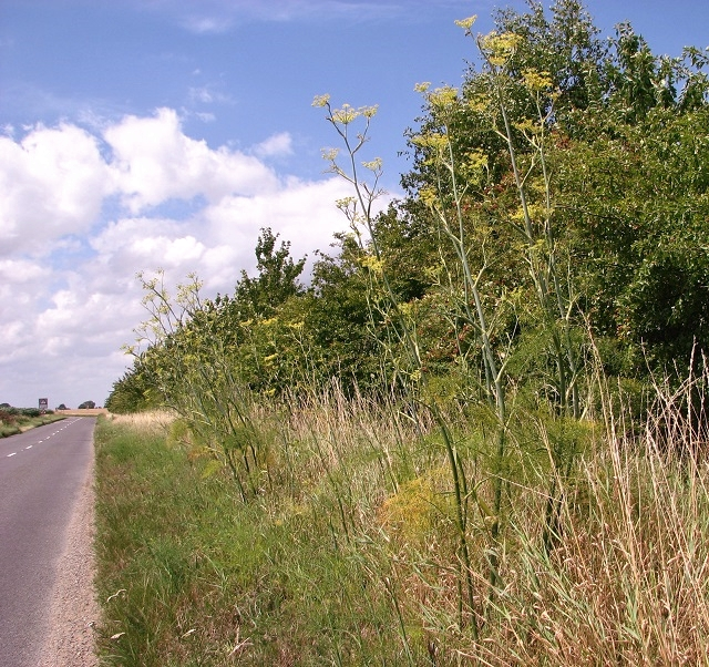 Wild fennel growing beside the B1136 (Loddon Road)
