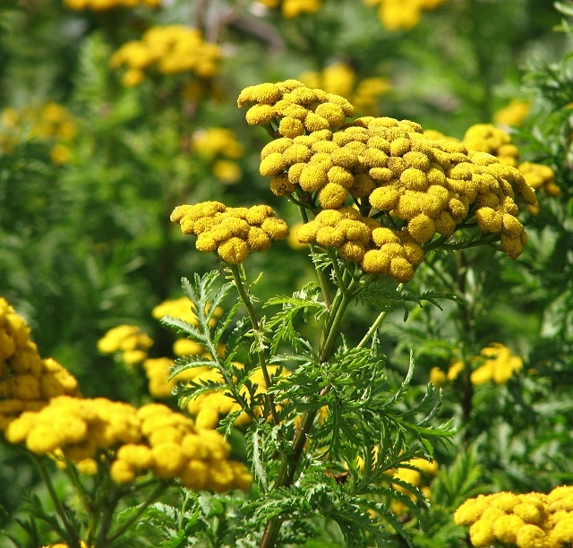 Tansy  (Tanacetum vulgare) - flowers