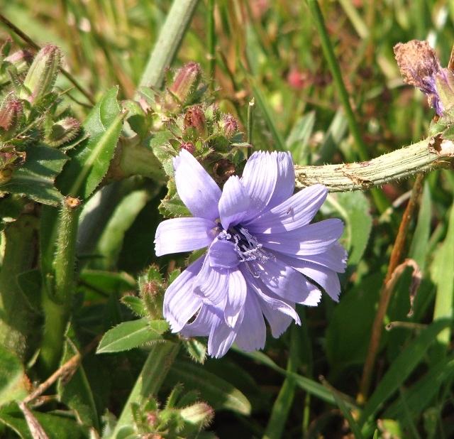 Common chicory (Cichorium intybus) - flower