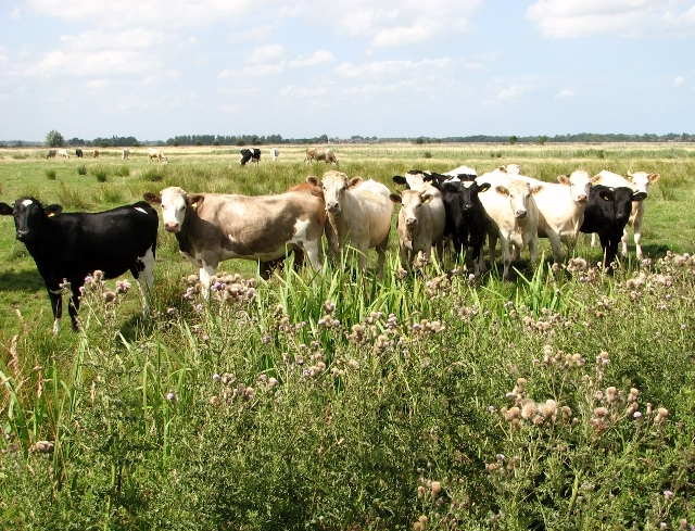 Curious cattle in the Norton Marshes