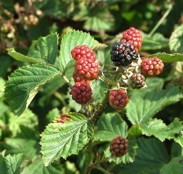 Ripening blackberries (Rubus fruticosus)