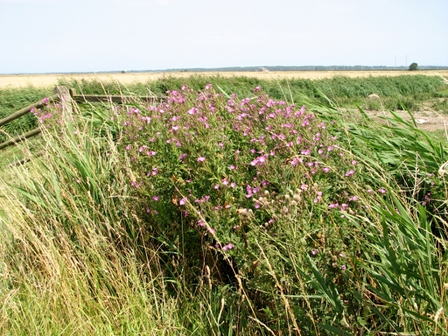 Great willowherb in the Norton Marshes
