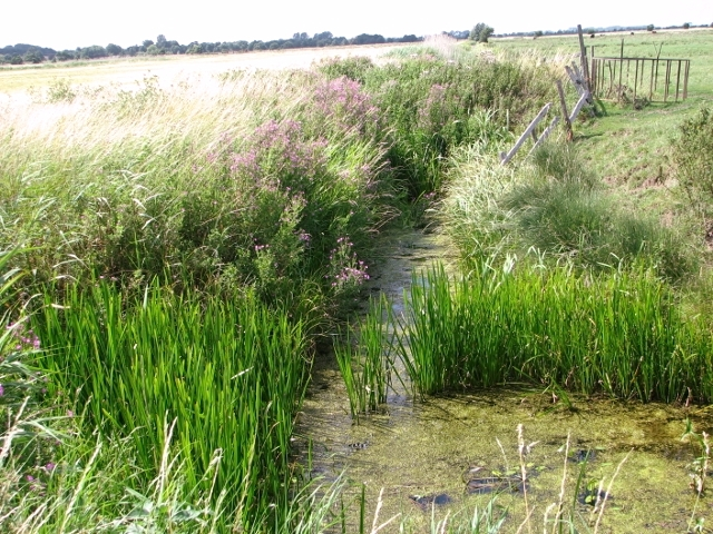 Overgrown drainage ditch in the Norton Marshes