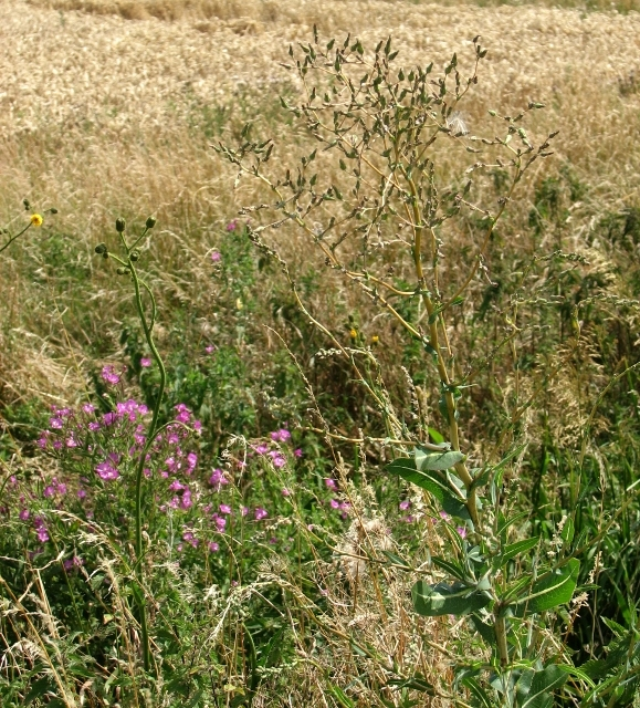 Wild flowers in the Norton Marshes