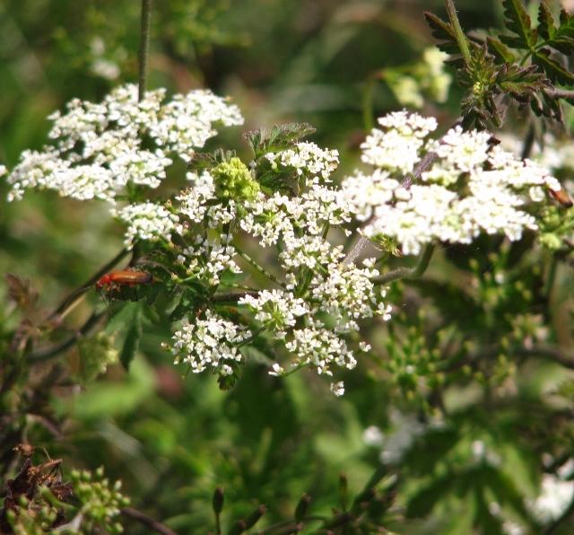 Upright hedge parsley (Torilis japonica) - flowers