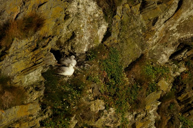 Fulmar (Fulmarus glacialis) and chick, on the Neap, Hermaness