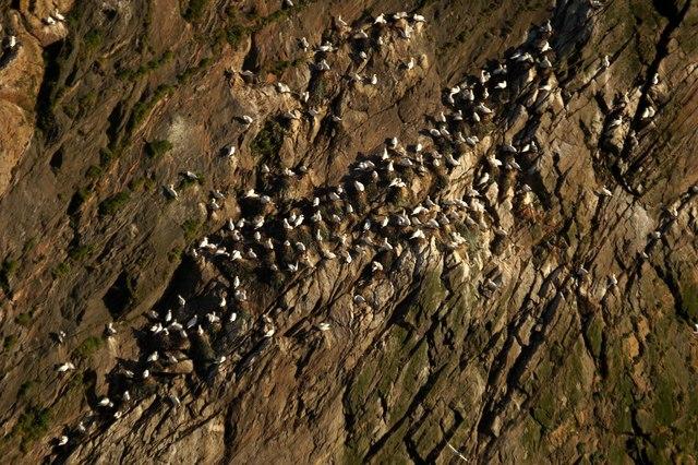 Nesting gannets at Saito, Hermaness