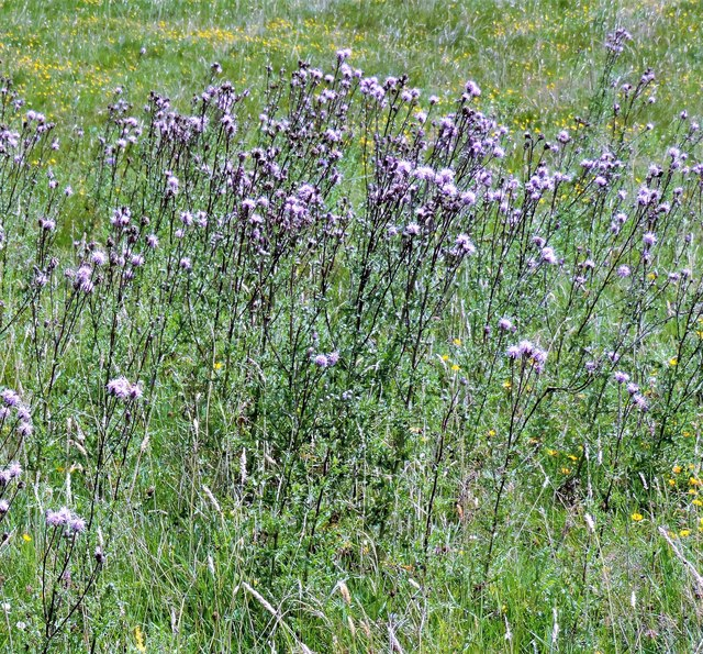 Black stemmed thistles in Churchland Fields