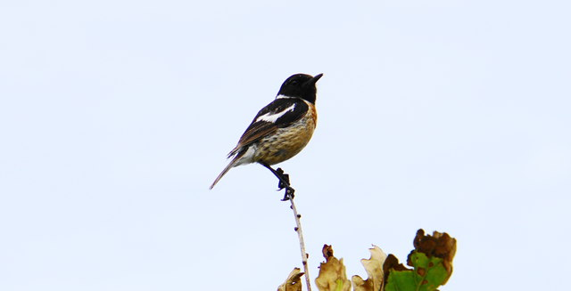 Stonechat on Crock Point