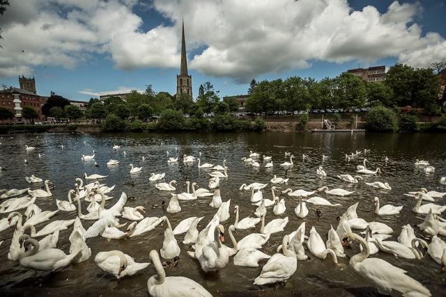 Swan Sanctuary River Severn, Worcester