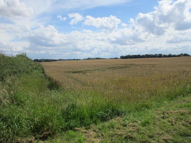 Wheat field near Wood End Farm