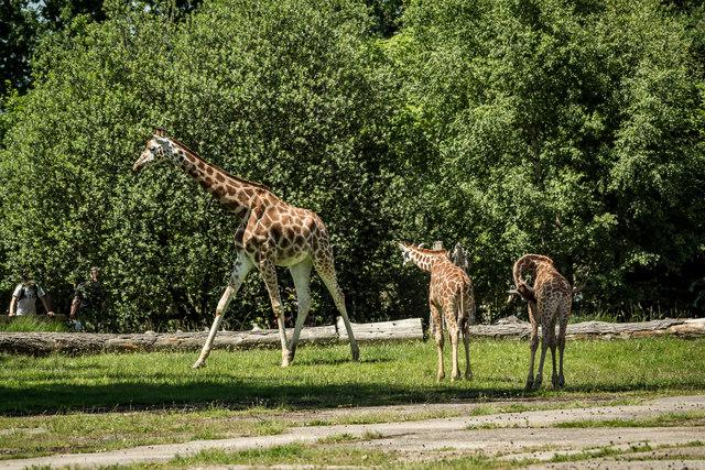 Chester Zoo, Giraffe Encloure