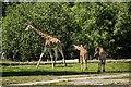 SJ4170 : Chester Zoo, Giraffe Encloure by Brian Deegan