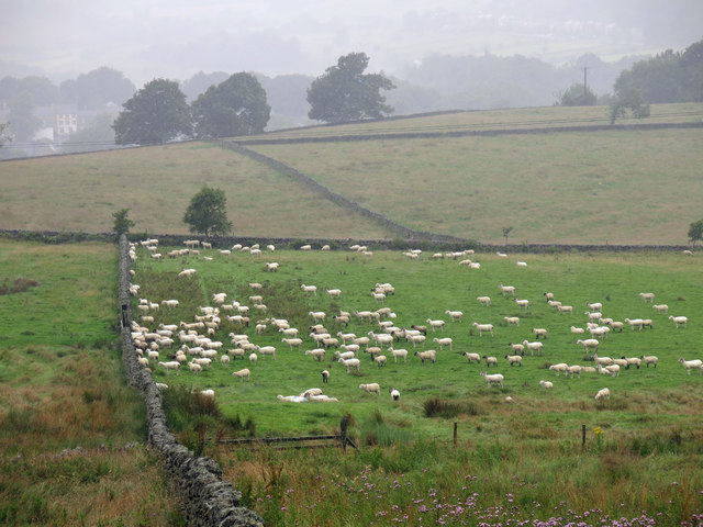 193 sheep all pointing in the same direction