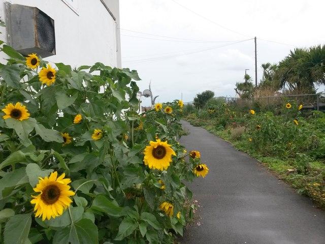 Southbourne: sunflowers flank footpath I31