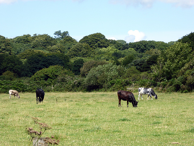 Cattle grazing beside the A497 road