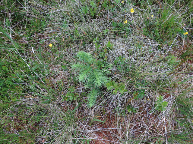 Conifer sapling at 530m