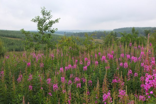 Willow herb near Middle Burn