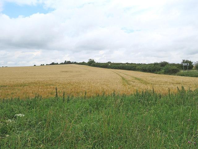 Barley on the slopes of Limekiln Hill