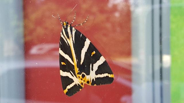 Jersey Tiger Moth on Shop Window at Oakwood, London N14