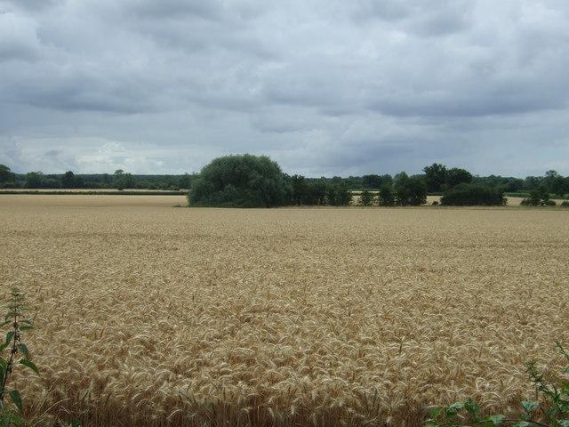 Golden cereal crop