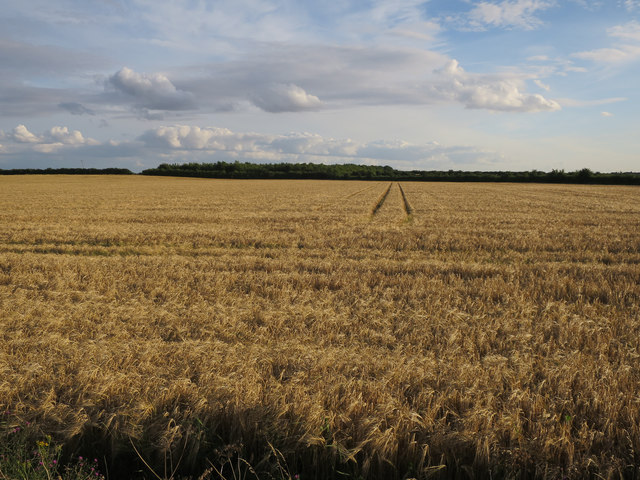 Barley field by permissive path