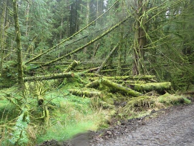 Fallen trees in Wark Forest