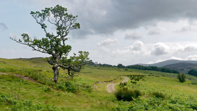 Scots Pine in the Lettie Valley, Rogart