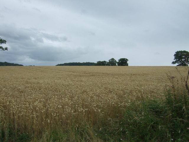 Cereal crop off Astwood Lane