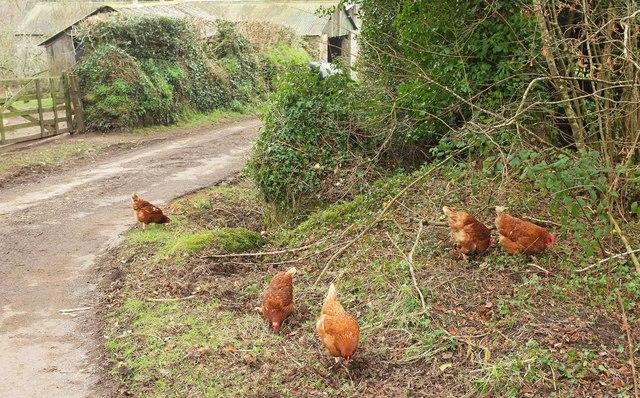 Free range hens at Ellimore