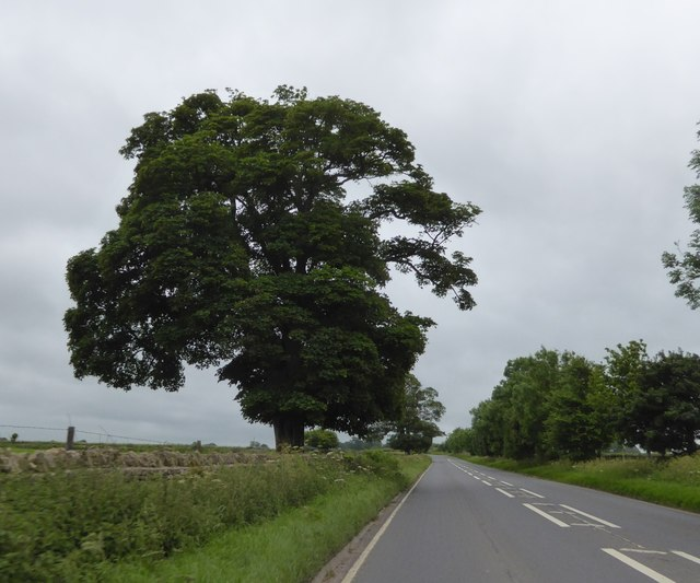 Lone tree by A37 south of Ston Easton