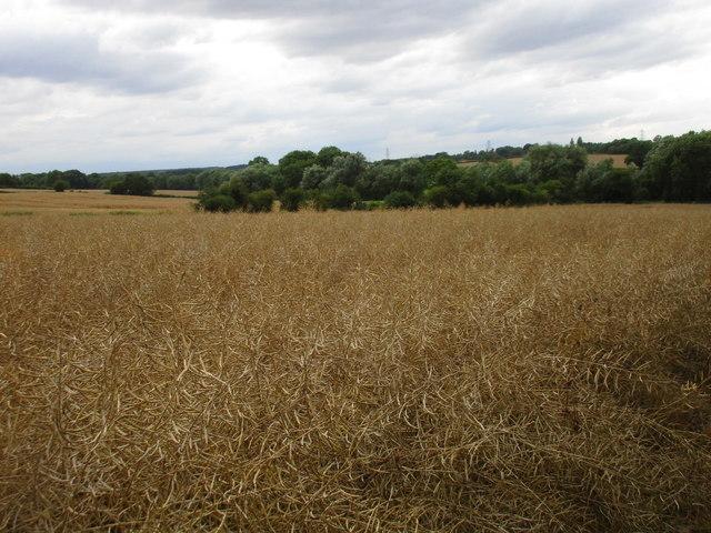 Field of oilseed rape and trees along Halloughton Dumble