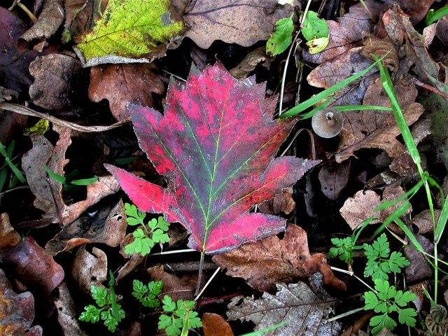 Fallen leaf of wild service tree, Churchland Lane