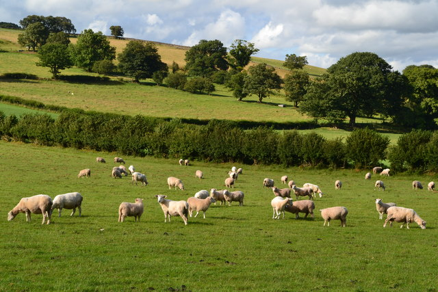 Sheep near Pantywenallt