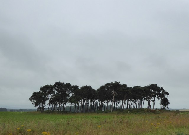 Stand of pines by the A96