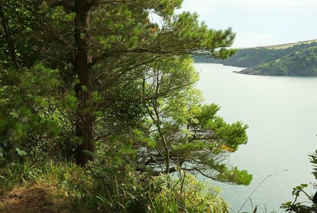 Pine by the coast path