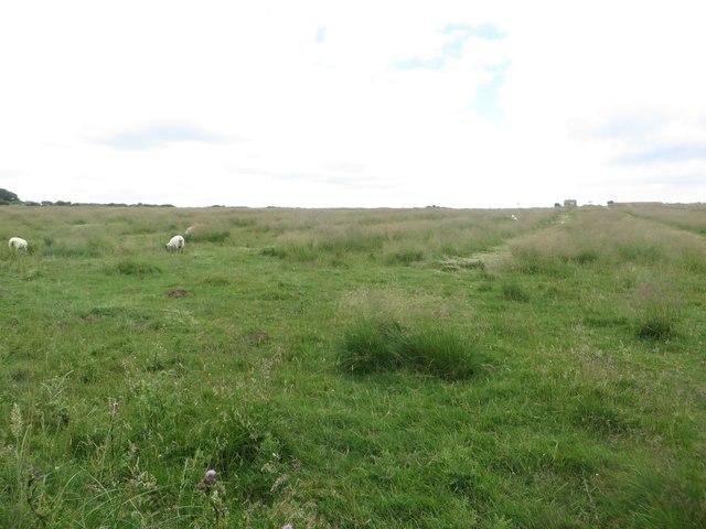 Sheep grazing beside the Headland Way