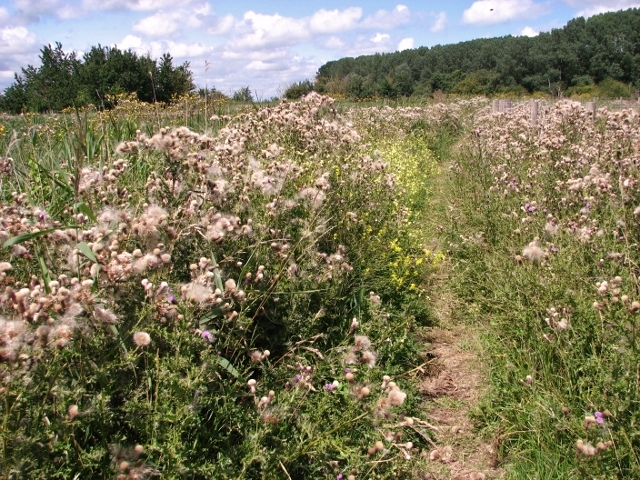 Creeping thistles beside the path to the Waveney Forest