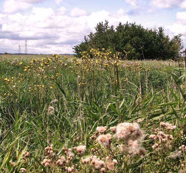 Perennial sowthistles flowering beside the footpath