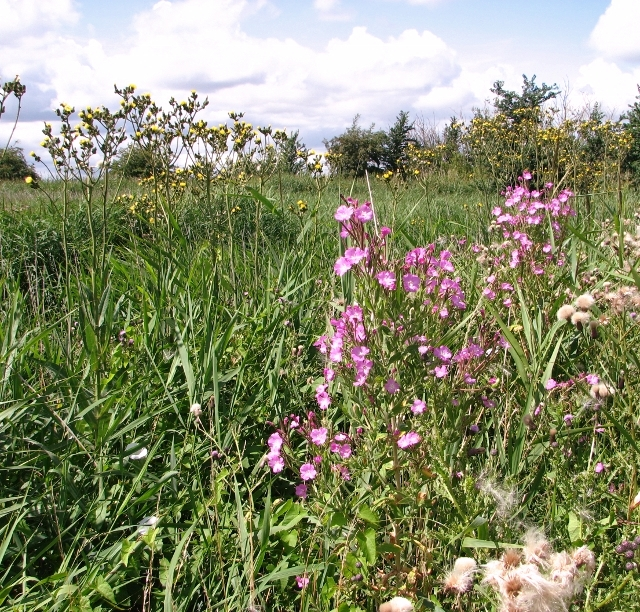 Great willowherb and Perennial sowthistles