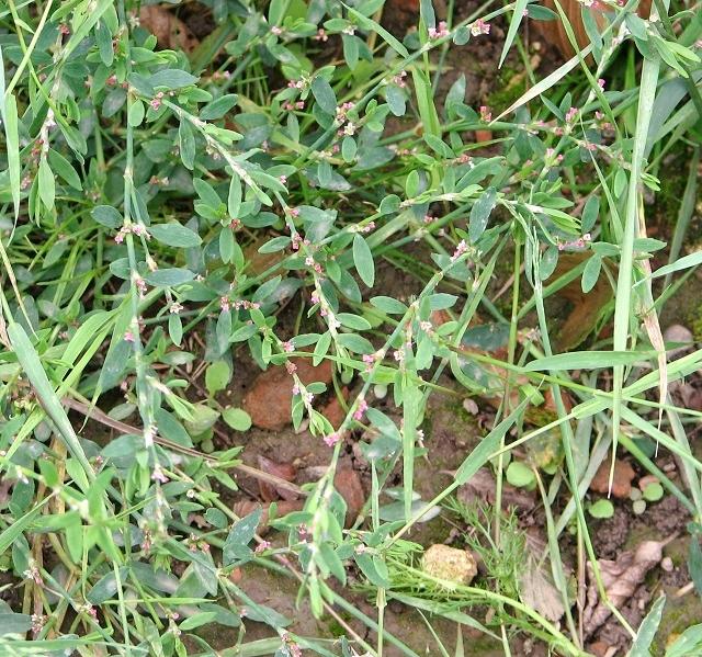 Common Knotgrass (Polygonum aviculare)