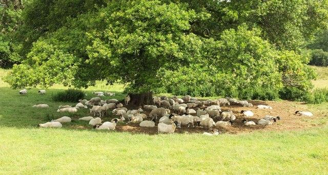 Sheep under oak, Gidleigh Park