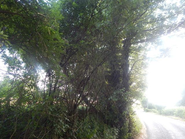 Vines on trees, Flowton