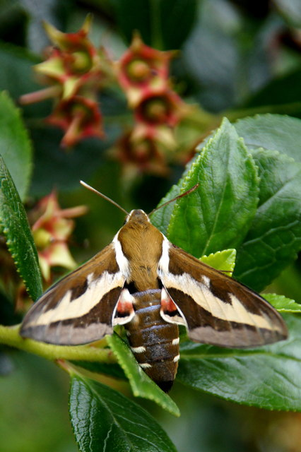 Bedstraw Hawk-moth (Hyles gallii), Baltasound
