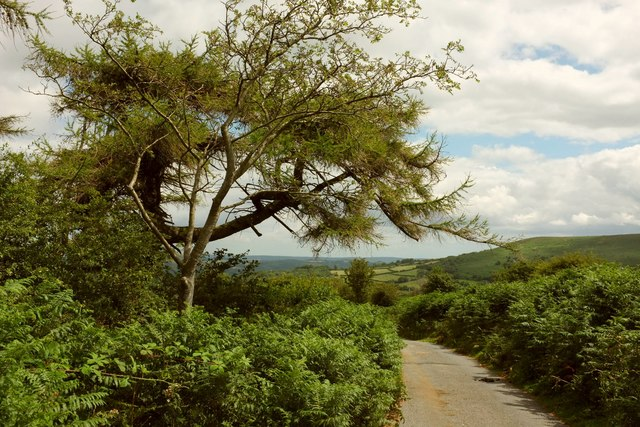 Trees by the lane to Great Houndtor