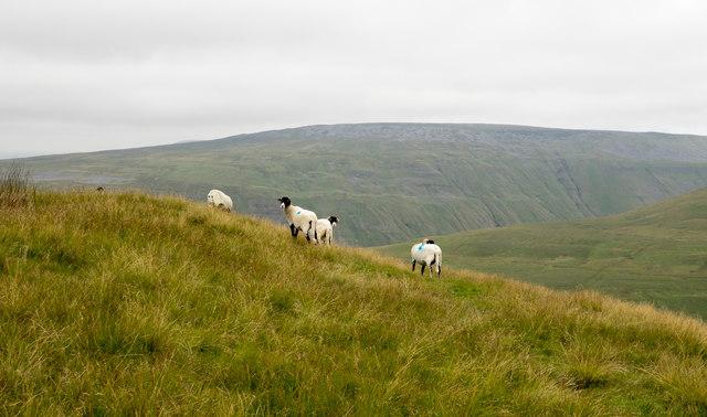 Sheep on east side of Murton Pike