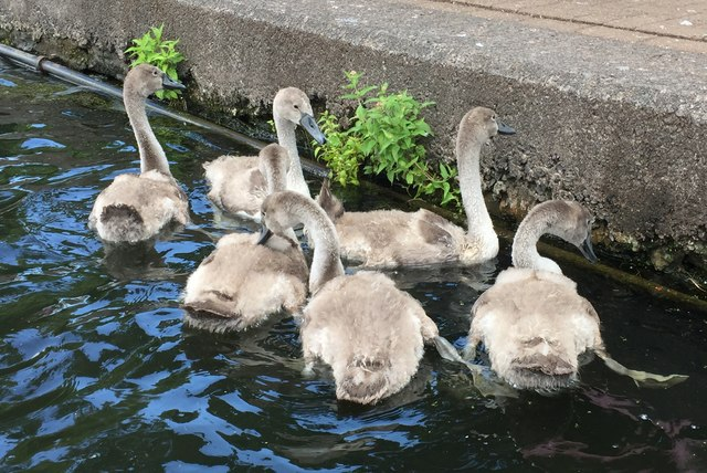 An Eyrar of Cygnets